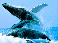 Maui Humpback tours hawaii