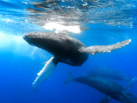 Maui Whale Watching excursions